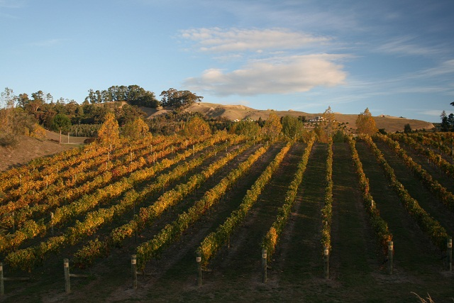 New zealand Vineyard_autumn