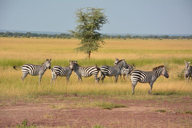 Zebra Afria