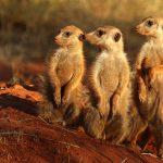 Meerkat Tswalu